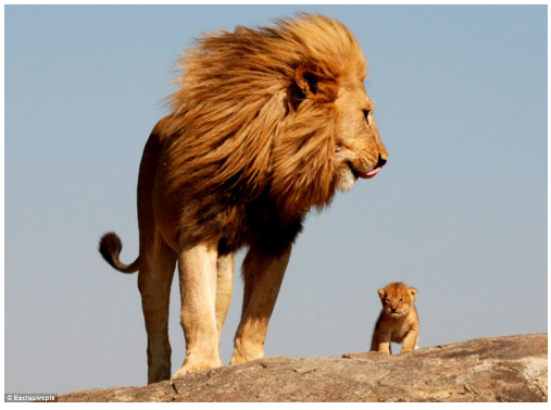 Happy Father's Day Lion Image
